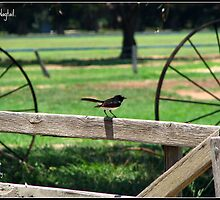 Willy Wagtail by mrsnatetah