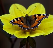 Small Tortoiseshell by Ray Clarke