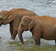 Elephants at Pinnawela, Sri Lanka by Rajeev Costa