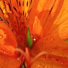 Inca lily with drops by Susan van Zyl