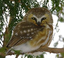 Northern Saw - Whet Owl - Ottawa, Ontario by Tracey  Dryka