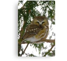 Northern Saw - Whet Owl - Ottawa, Ontario Canvas Print