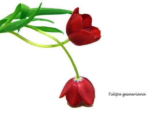 Tulipa gesneriana by Akkra