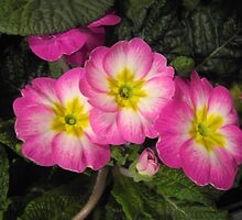 Pink Primulas featured in The World As We See It, or as we missed it. by ©The Creative  Minds