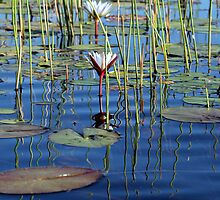 waterlilly in the Okavango Delta by nymphalid