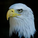 Bald Eagle 3 by laurav