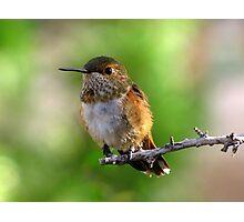 Rufous Hummingbird ~ Female Photographic Print