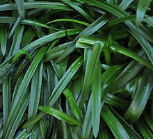 wet lily leaves by ellc