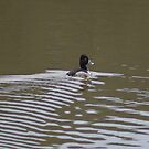 Ring-necked Duck by TxGimGim