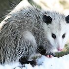 possum by martinilogic