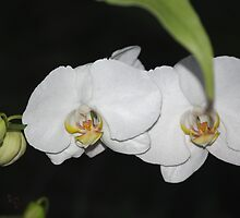 White Orchid by Rainy