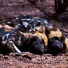 WILD DOG -Lycaon pictus (ENDANGERED SPECIES) by Magaret Meintjes