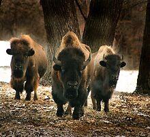 Squoia the top bull by Cushman