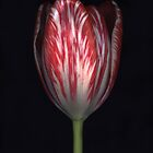 Striped Tulip by Barbara Wyeth