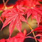 Scarlet Red Autumn Leaves by Emma Newman