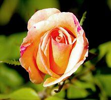 Peach Rosebud by Emma Newman