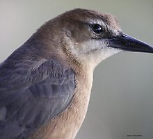 Boat Tailed grackle female by Dennis Cheeseman