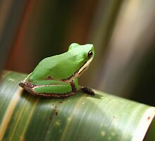 Litoria Fallax by andrachne