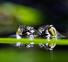 Baby Croc Eyes by Matthew Lam