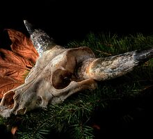 Southwest Cow Skull in HDR by Jeffrey  Sinnock