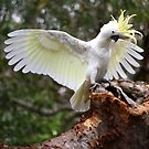 Sulphur Crested Cockatoo, Bundeena NSW by Patricia  Knowles