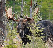 Bull moose - Algonquin Park, Ontario by Tracey  Dryka