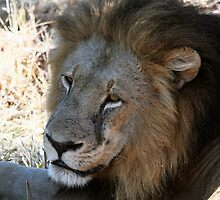 Close up of Black maned Lion in Botswana by nymphalid