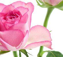 roses by OldaSimek