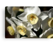 Kicking Back - Daffodils Canvas Print