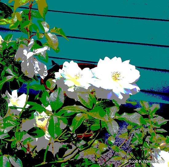 white roses by Scott K Wimer