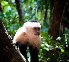 monkeys in costa rica by Heather White