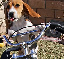 Beagle on Bike by TNegriPhotos