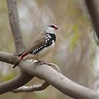 Diamond Firetail Finch by Craig Stronner