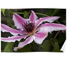 Clematis from Shallow Angle Poster