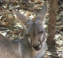 Western Grey Kangaroo by ScenerybyDesign
