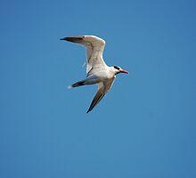 Gull-Billed Tern  by Karl F Davis