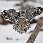 Northern Hawk Owl on Approach by Ron Kube