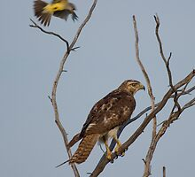 Back Off!  Hawk! by Jerry Segraves