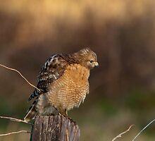 Puffed Up Hawk by Bonnie T.  Barry