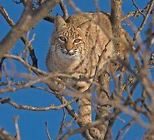 Bobcat by Jerry Segraves