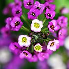 Alyssum cluster by mooksool