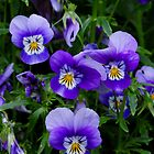 Pansies - Giverny, France by Aaron Minnick
