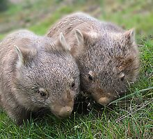Wombats #1 by Bandicoot