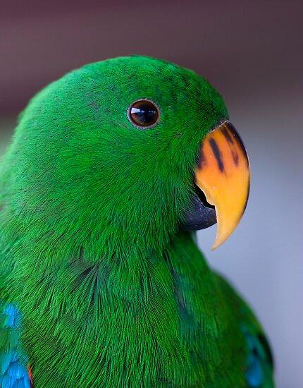 Zulu - eclectus parrot by Jenny Dean