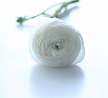 white ranunculus by OldaSimek