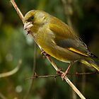 Green Finch by Robert Abraham