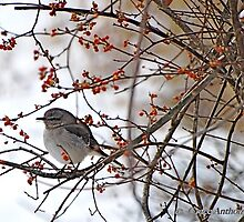 Mockingbird amidst Red Berries by GraceNotes