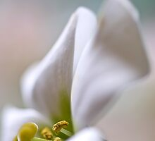 Soft on Lisianthus by Jacky Parker