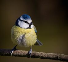 Blue Tit by geoff curtis