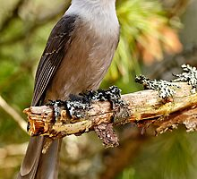Gray Jay -  Algonquin Park, Ontario - 3 by Michael Cummings